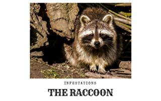 Raccoon Infestation